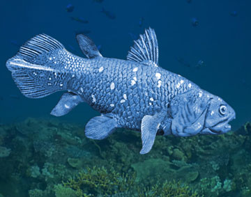 The coelacanth proved to be one of the most shocking discoveries of the 20th Century. Illustration by William Rebsamen.
