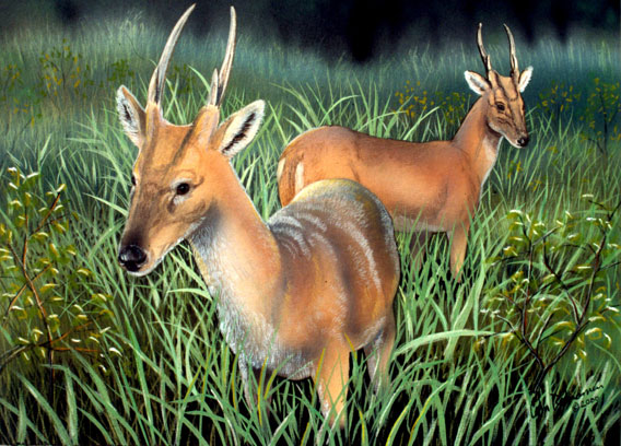 The giant muntjac, or large-antlered muntjac, was discovered in 1994 in Vietnam. It shares the forest with the saola. Illustration by: William Rebsamen.