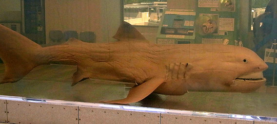 One of the most surprising discoveries in the ocean in recent years was the megamouth shark, discovered in 1976. Photo courtesy of Karl Shuker..
