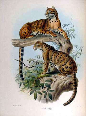 Recent research, including genetic analysis, has shown that there are two distinct species of clouded leopard. Illustration courtesy of Karl Shuker.