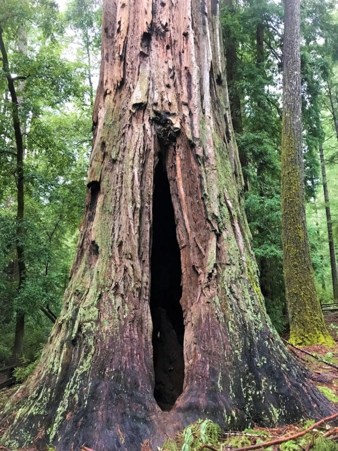 A giant redwood tree is hallowed out by fire damage.