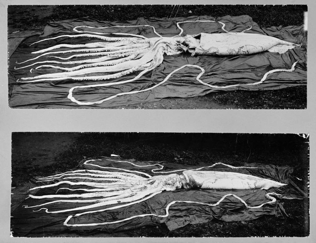 Two of the largest specimens of giant squid recorded, found in Hemne, Norway, in 1896.