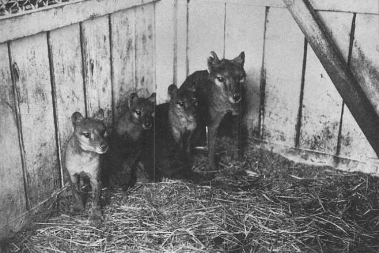 Thylacine with three cubs, Hobart Zoo, 1909. Image in the pubic domain.